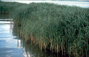 La spartina alterniflora, es una planta halófita / Foto: Wikipedia